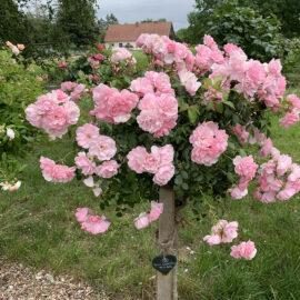 Rosen auf dem Thuenengut